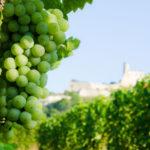 Weißweintrauben in den Weingärten